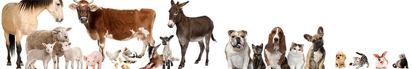 Báscula veterinaria, bascula clínica de animales